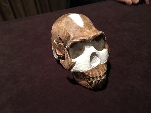 Homo naledi skull replica.